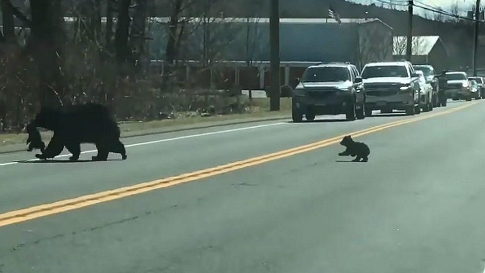 (VIDEO) Svi su se raznježili na ovaj video: Medvjedica zaustavila promet kako bi prebacila mladunčad