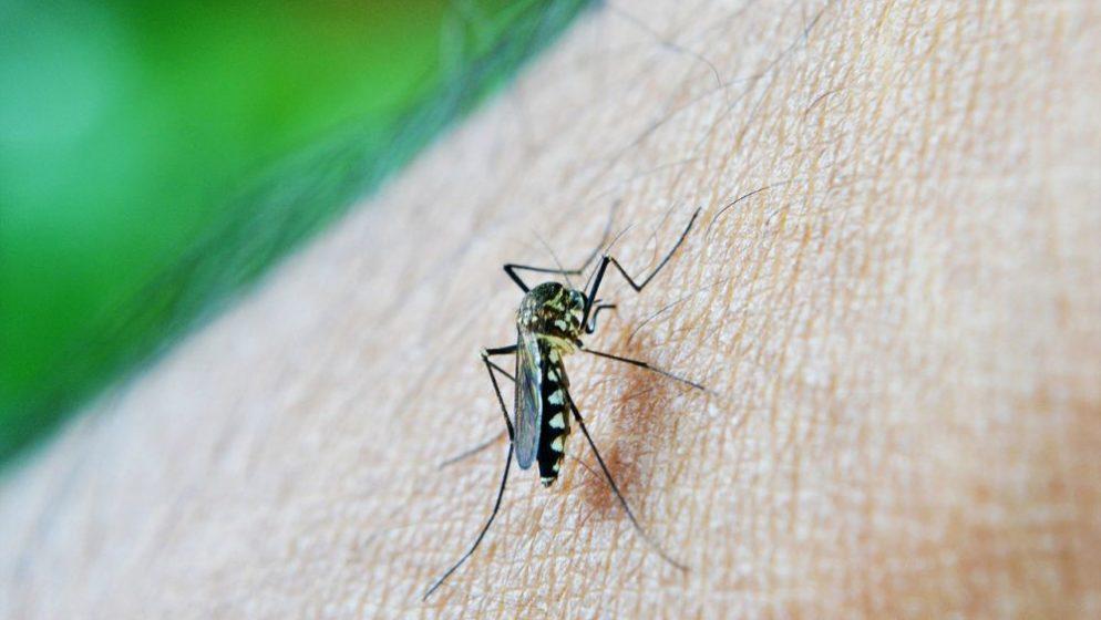 U prirodu pustili genetski modificirane komarce kako bi zaustavili viruse