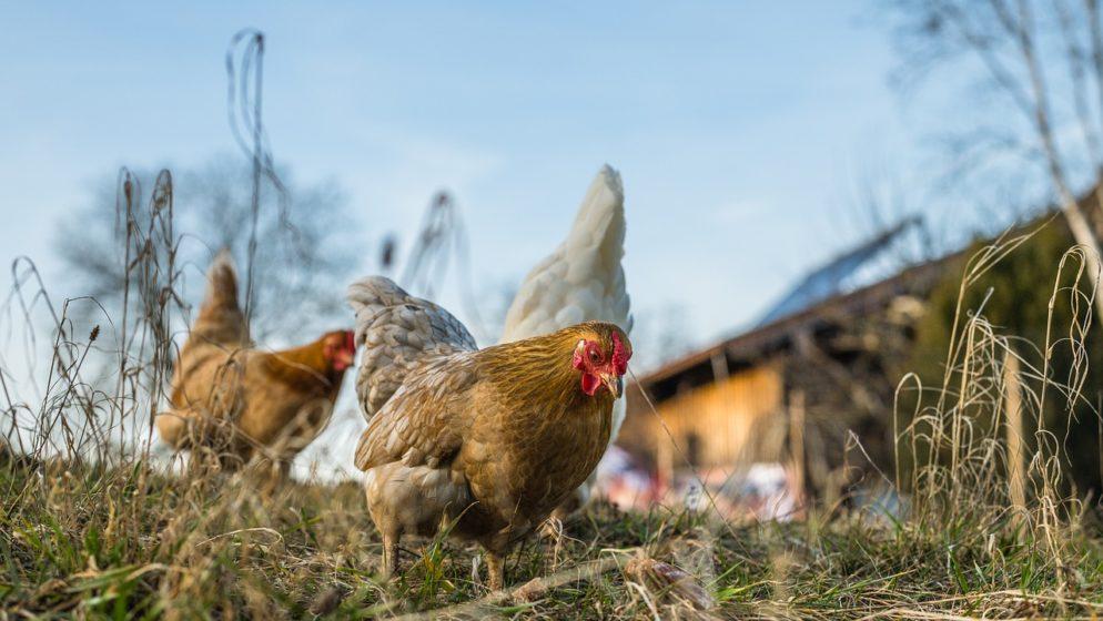 U Aziji se za cijepljenje nude kokoši, krave i stanovi!